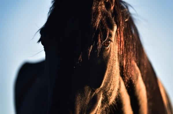 PROPOSED BLM ROUNDUP OF WILD HORSES IN COLD CREEK EXAMINEDCLOSELY