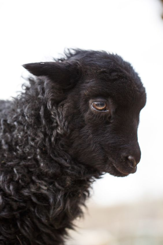 This image has an empty alt attribute; its file name is black-sheep.jpg